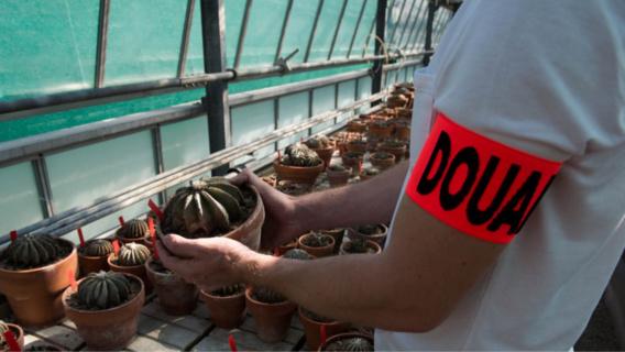 La première saisie a lieu le 23 août dernier, lorsque les agents découvrent 274 cactus dans 4 colis en provenance du Mexique et à destination de Hong-Kong (Photos@Douane française)