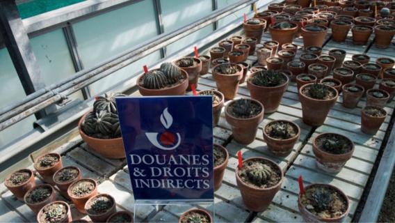 Les douaniers de l'aéroport de Roissy saisissent 369 cactus protégés et menacés d'extinction