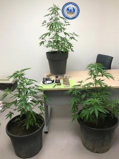 Ces plants de cannabis ont mis la puce à l'oreille des policiers (Photo © DDSP78)
