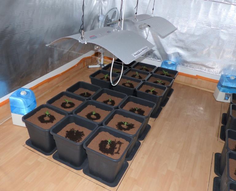 Les 35 jeunes plants de cannabis ont été saisis. Ils seront détruits prochainement (Photo © D.R.)