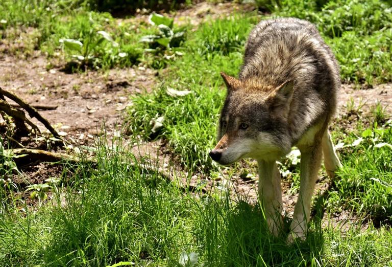 Pas de loup en forêt de Lyons, selon le rapport d'edxpertise de l'Office de la cahsse (Illustration © Pixabay)