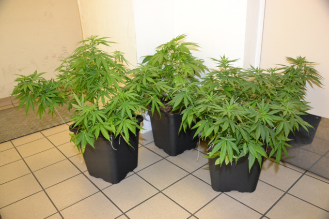 Des plants de cannabis en culture ont été découverts dans l'habitation du jeune homme