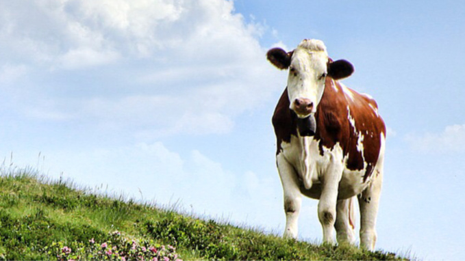 Dans l'Eure, une vache tombée dans une fosse à lisier sauvée de la noyade par les pompiers