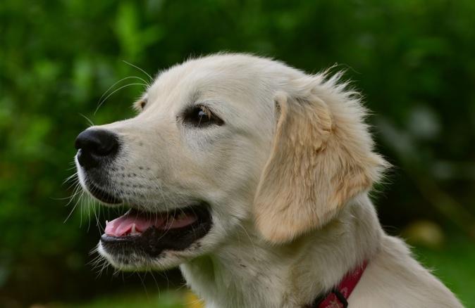 Le Golden Retriever est réputé pour être un animal intelligent, doux et affectueux - illustration © Pixabay
