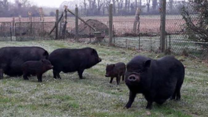 Les trois cochons vietnamiens et deux bébés ont été recueillis chez une habitante de Saint-Aubin-sur-Quillebeuf - Photo © Fondation Brigitte Bardot