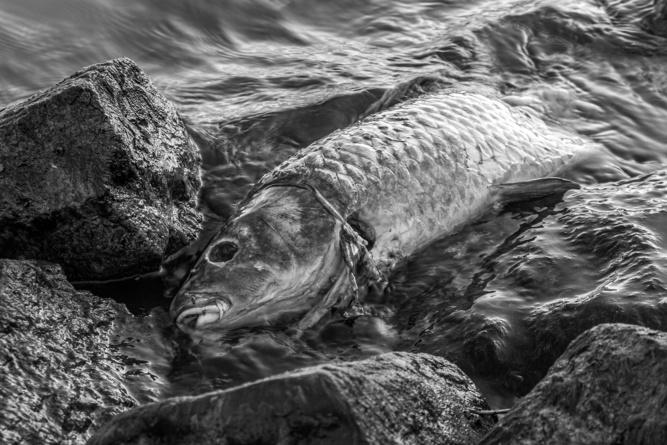 Près de 7 tonnes de poissons sont morts en quelques jours dans la Seine des suites de la pollution - Illustration © Pixabay