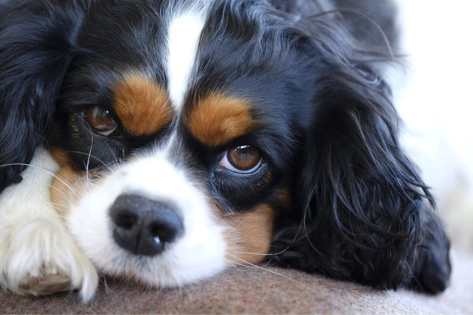Le Cavalier King Charles est un petit chien d'agrément d'origine anglaise - illustration @ Pixabay