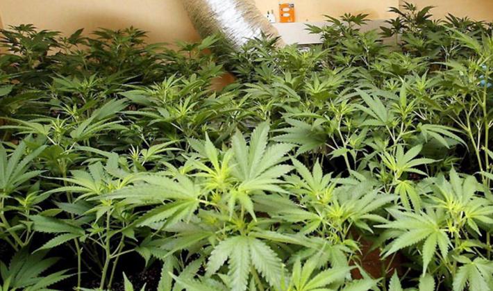 L'herbe de cannabis était cultivée dans une pièce tout spécialement aménagée en chambre de culture - Illustration