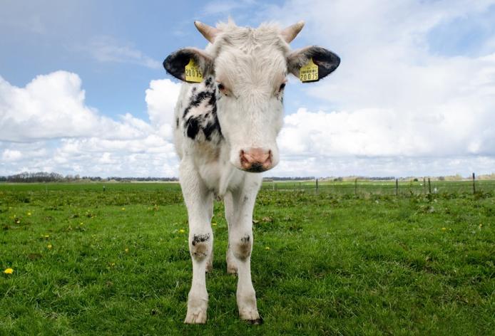 Le jeune bovin s'est retrouvé piégé dans une cavité - illustration © Pixabay