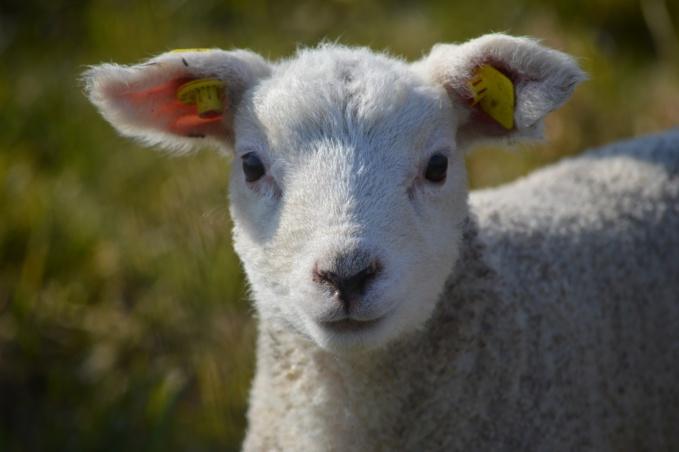 L'agneau faisait partie du cheptel dédié à l'éco-pâturage - illustration © Pixabay