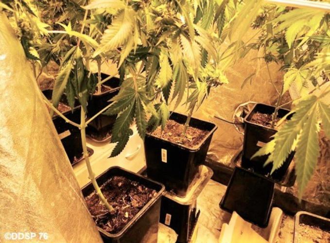 Les plants de cannabis ainsi que le matériel nécessaire à leur culture et au conditionnement ont été saisis - Photo © DDSP76