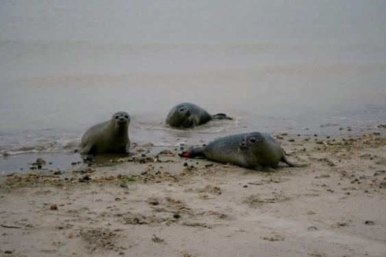Une forte colonie de phoques est présente dans la baie de Somme. C'est même une attraction pour les touristes  (Photo Picardie Nature)
