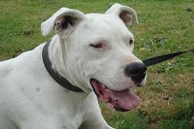 Le Dogue argentin n'est pas considéré comme un chien dangereux