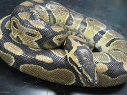 Le serpent était enroulé à la colonne de direction