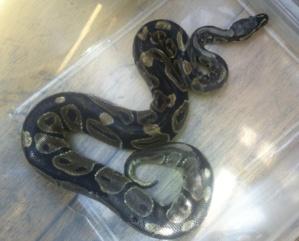 Le reptile dont on ne connaît pas la provenance va être confié à un habitant de Fécamp, amateur de NAC (Photo : SDIS 76)