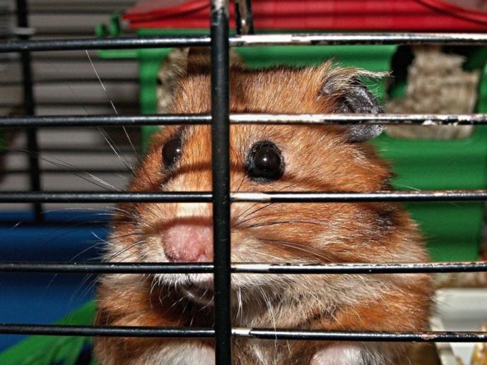La cage de l'hamster a été projetée au sol par l'un des protagonistes - illustration @ Pixabay