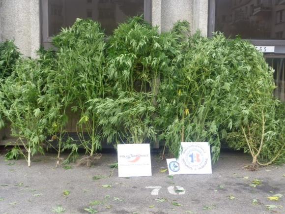 Certains des 14 plants de cannabis saisis faisaient jusqu'à 2,50 m de haut
