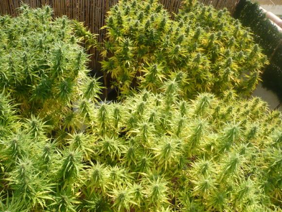 Certains plants de cannabis atteignaient près de deux mètres de haut (Photo d'illustration)
