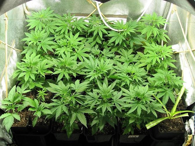 Les policiers ont saisi entre autres 11 plants  de cannabis en pot  - Illustration