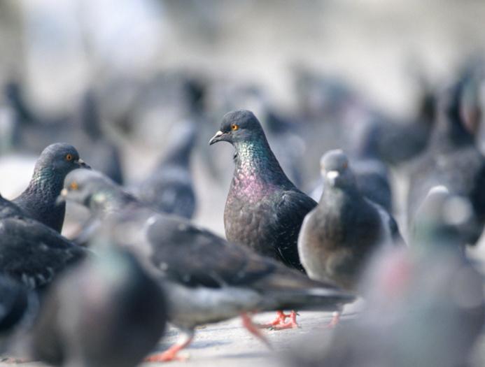 Les cadavres d'au moins cinq pigeons ont été retrouvés par les policiers (Photo d'illustration)