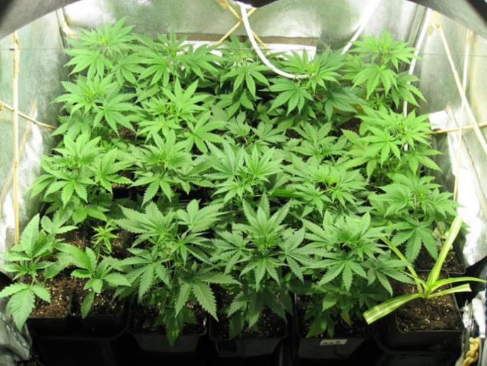 Illustration de plants de cannabis
