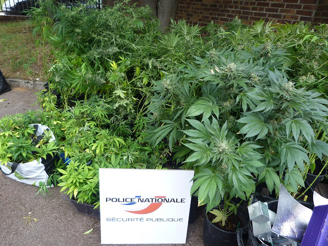 108 plants de cannabis ont été saisis dans la cave de deux rouennais qui en faisaient la culture (photo@DDSP)
