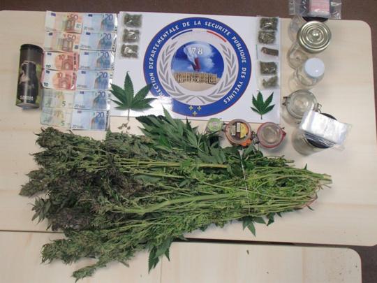 Les plants de cannabis saisis par les policiers représentent une valeur à la revente estimée entre 25 000 et 30 000 euros (Photo @DDSP78)