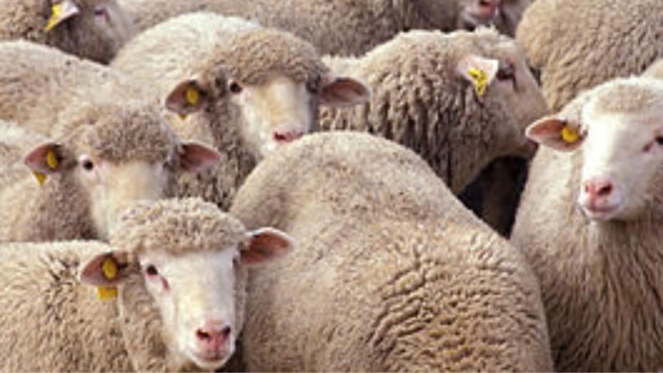 Huit moutons avaient déjà été égorgés et soixante autres attendaient de subir le même sort (Illustration)
