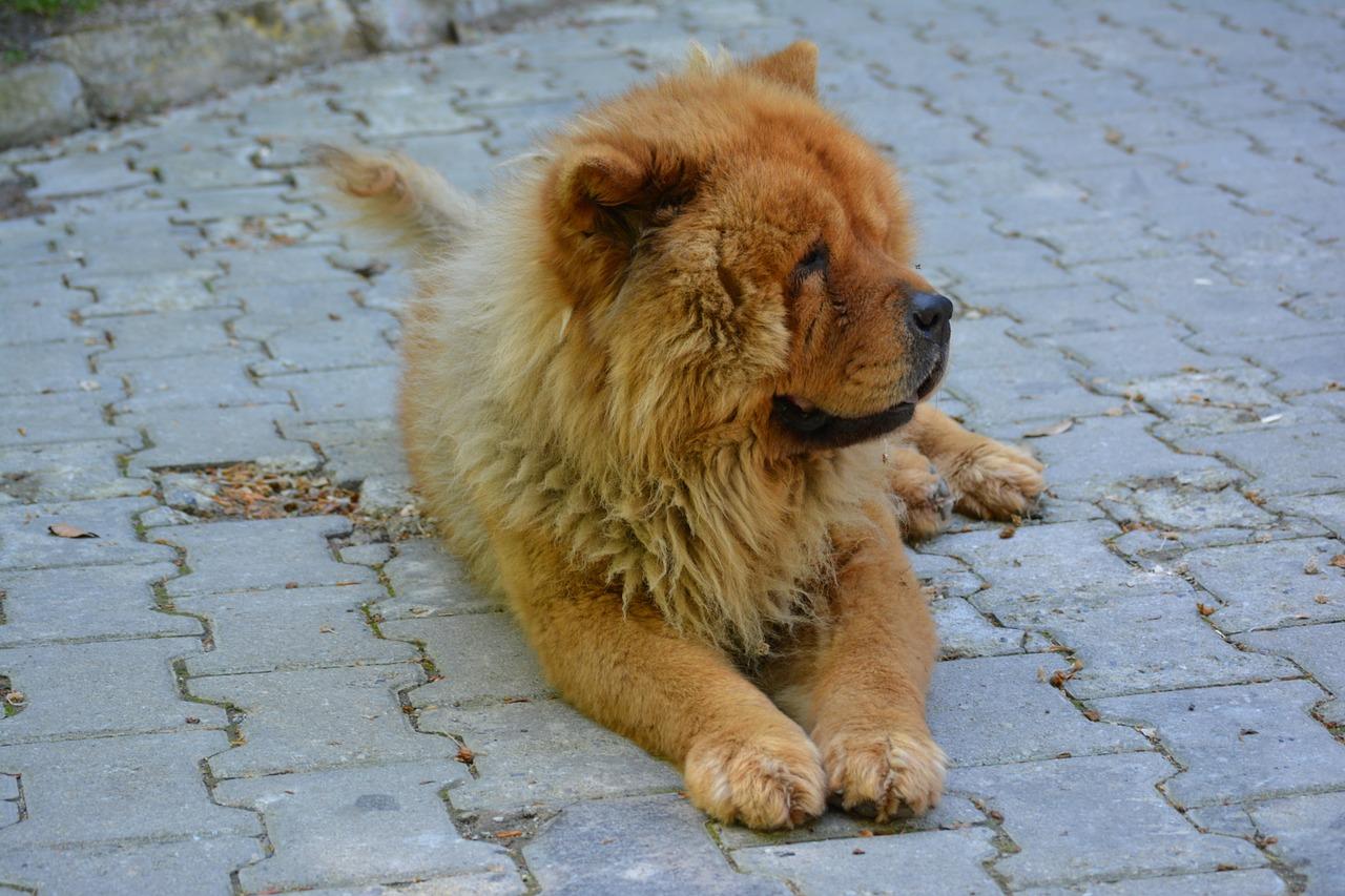 Le chien de race chow-chow s'est attaqué à la petite fille dans des circonstances que l'enquête va devoir établir (Illustration © Pixabay)