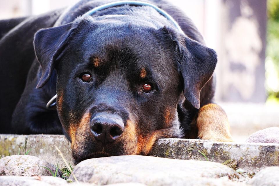 Le rottweiler est classé chien de défense 2e catégorie - Illustration © Pixabay