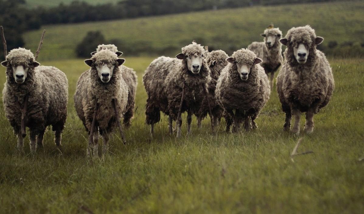 Les moutons ont été transportés à la fourrière animale du Havre dans l'attente d'être examinés par un vétérinaire - Illustration © Pixabay