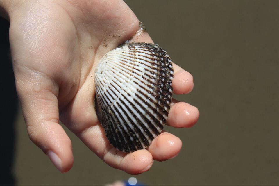 Le ramassage des coquillages est à nouveau autorisé - Illustration © Pixabay