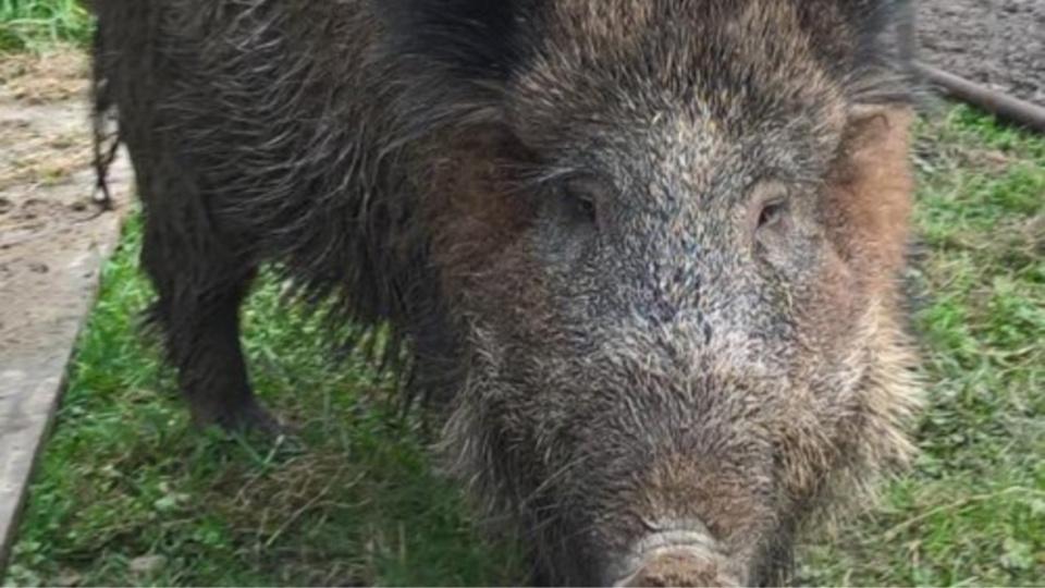 Nénette a été recueillie il y a 18 mois par un agreiculteur de Muids, dans l'Eure. Elle a été élevée au biberon  - Photo publiée sur le site Mes Opinions.com