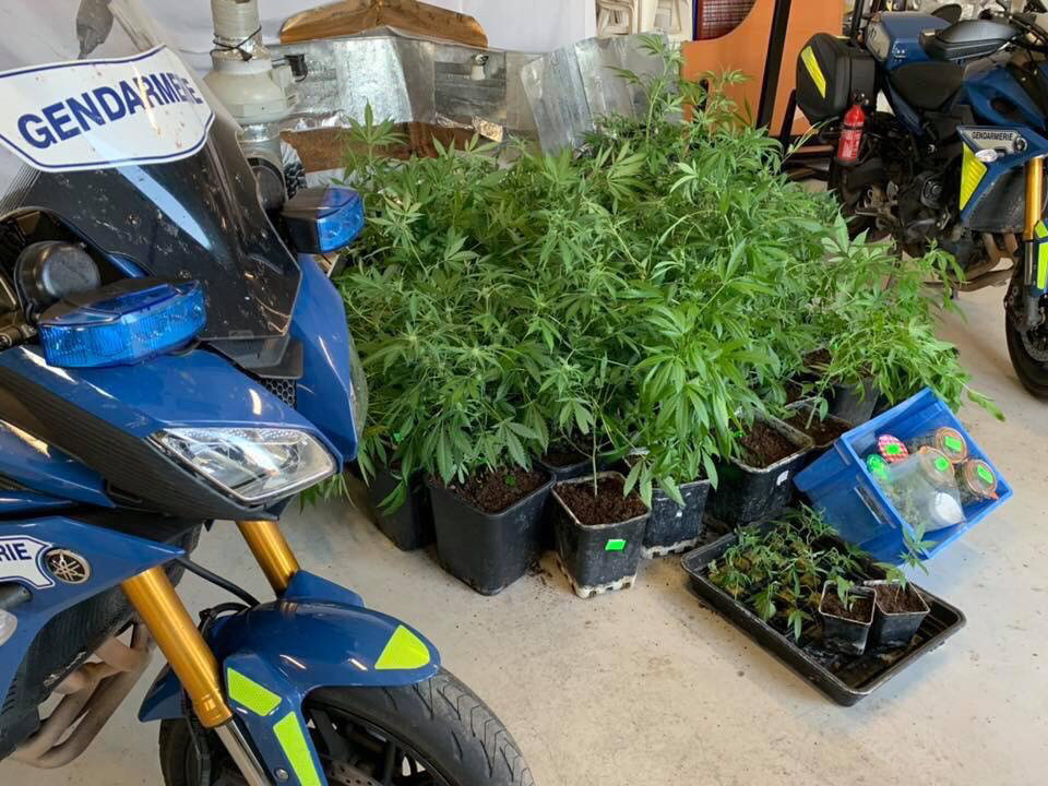 Les plants de cannabis ont été saisis et seront détruits - Photo ©️ Gendarmerie de l'Eure