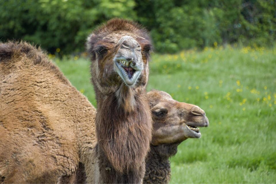 La présence insolite en pleine nuit de trois chameaux divaguant au milieu de la chaussée n'a pas manqué d'attirer l'attention d'un témoin  - illustration @ Pixabay