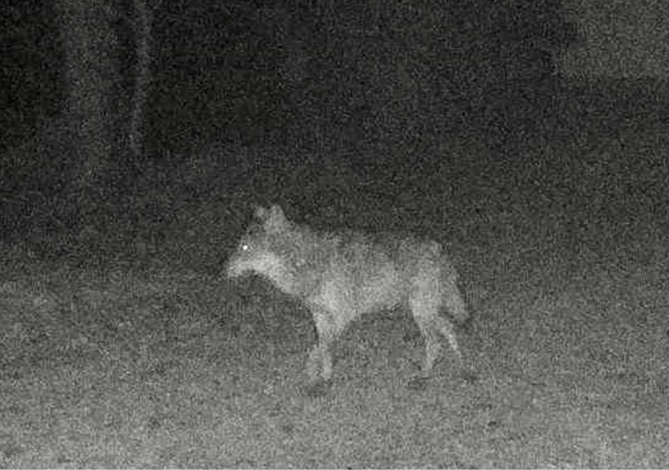 Cliché du loup pris à l'appareil photographique automatique d'un habitant de Londinières ©Desjardins et transmise par la préfecture de Seine-Maritime