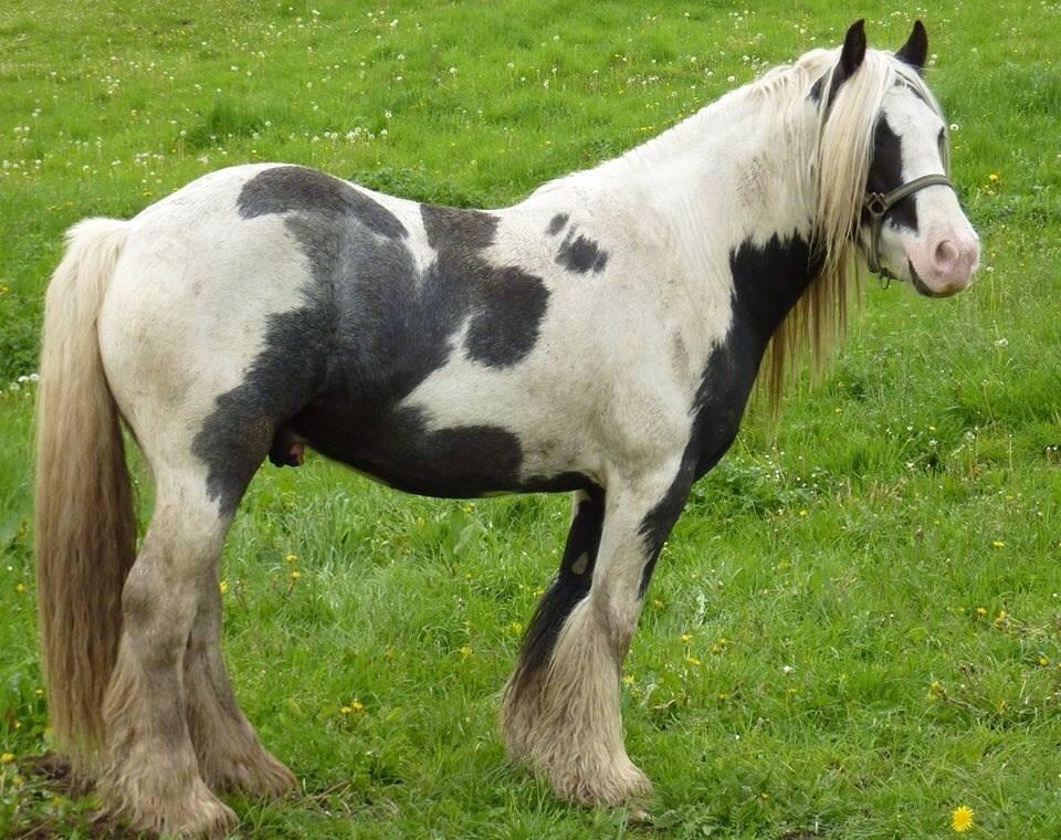 Le cheval Altaïr, volé dans un pré dans le secteur de Montville, près de Rouen