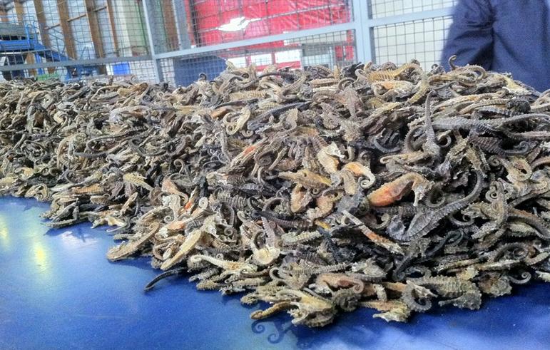 Près de 19 000 hippocampes saisis par les douaniers à Roissy : leur valeur est estimée à près de 200 000 euros (Photo Douane française)
