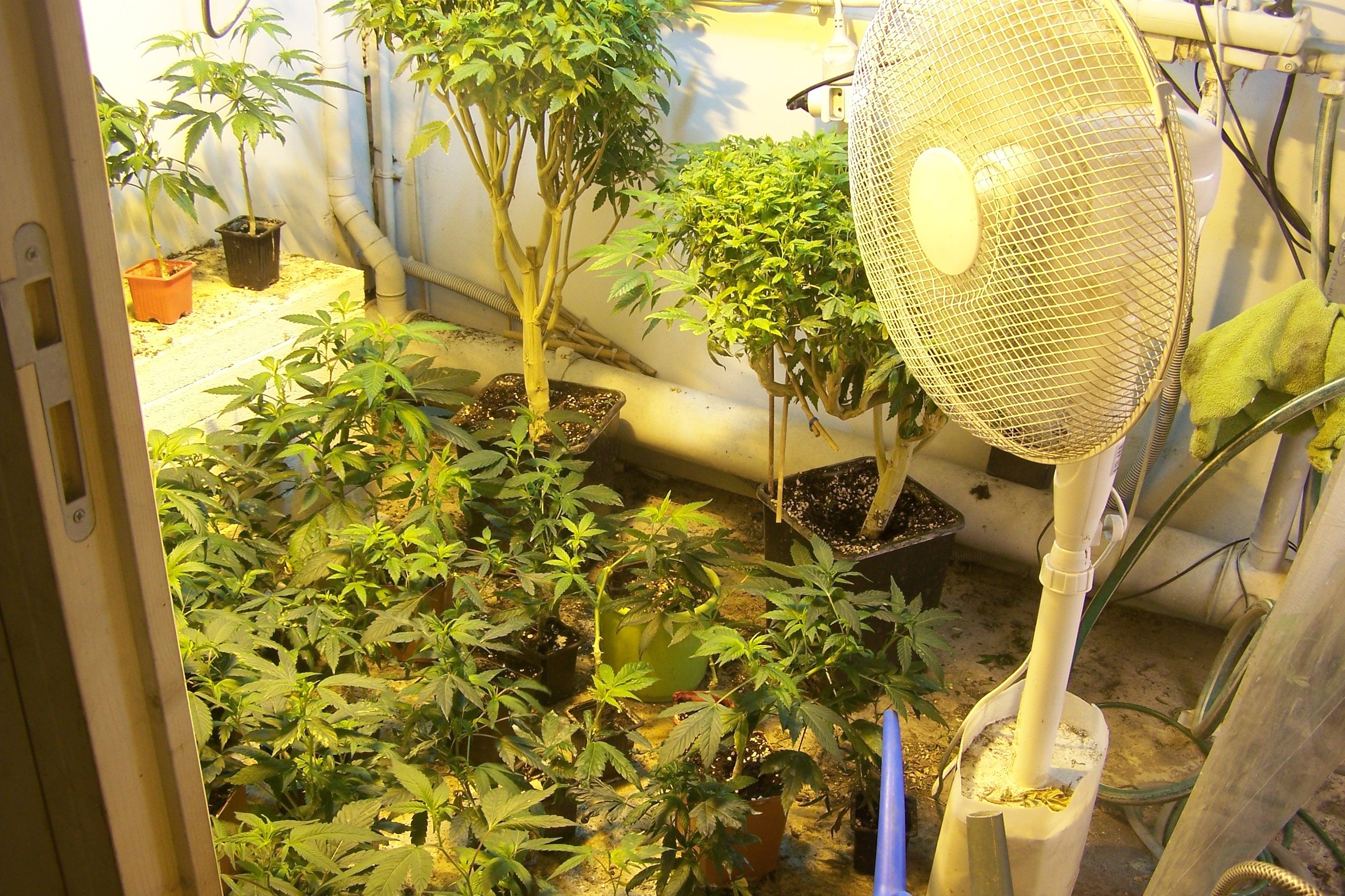 Quelque 200 pieds de cannabis ont été découverts dans une pièce de l'habitation  spécialement équipée pour la culture  (Photo @DR)