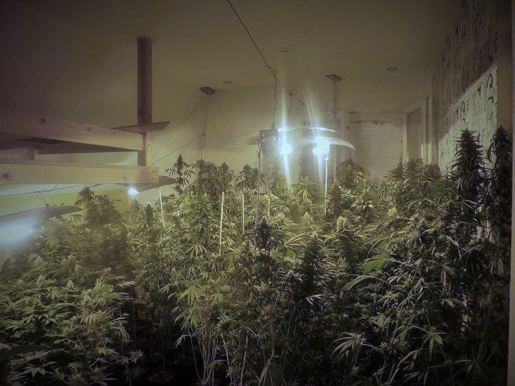 Près de 400 pieds saisis à Harfleur (Photo), 200 pieds à Gisors (Eure) : deux importantes cultures de cannabis démantelées en quelques jours en Haute-Normandie @DR