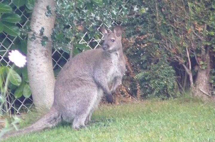 Le kangourou allait de jardin en jardin, lorsqu'il a été repéré ce matin à Envermeu (Photo @Gendarmerie/Facebook)