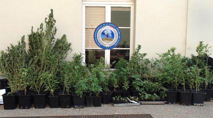 Les plants de cannabis ont été saisis (Photo @DDSP78)