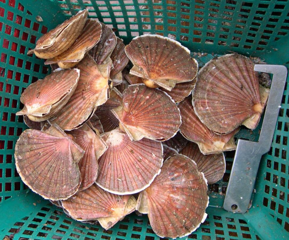 Appel à la vigilance à l'occasion de l'ouverture de la pêche à la coquille saint-jacques