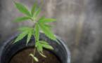 Six pieds de cannabis en cours de floraison ont de saisis dans l'appartement - illustration @Pixabay