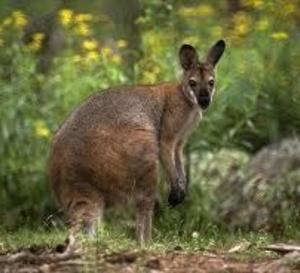 Insolite : les gendarmes retrouvent le wallaby égaré dans un poulailler près du Neubourg