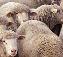 60 moutons attendaient d'être sacrifiés : un abattoir clandestin découvert en Seine-Maritime
