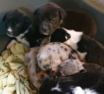 Elevage clandestin dans l'Eure : les chiens vivaient dans des « conditions déplorables »