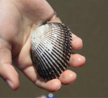 Calvados : la pêche à pied des coquillages à nouveau autorisée sur la plage de Houlgate