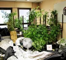 Un Yvelinois cultivait des pieds de cannabis chez lui : le trafic lui aurait rapporté 60.000 €