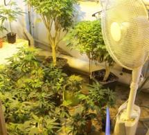 Gisors : 200 pieds de cannabis découverts chez l'auteur d'une tentative de meurtre